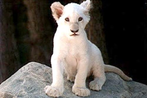 Первые в СНГ белые львы – в ялтинской «Сказке»