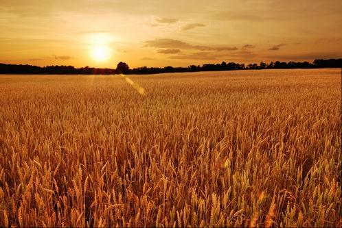 Урожай рекордный, будем с хлебом!