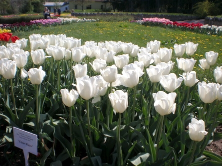 Тюльпаны – вестники весны