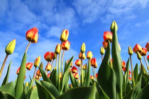 Тюльпаны. Одесские зарисовки