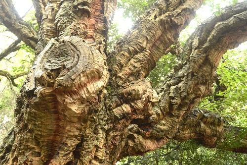 Знаменитой роще пробкового дуба в Никитском саду – 200 лет!