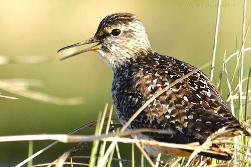 Легкомысленная птица