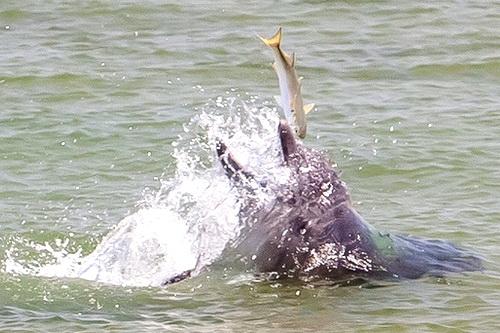 Дельфины среагировали на стройку в Керченском проливе ростом численности