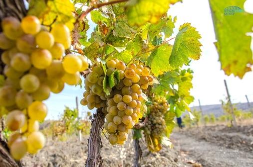 В Крыму и на Кубани создадут вино «Крымский мост»