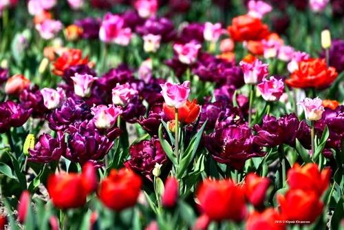 Сюрпризы Парада тюльпанов — 2019