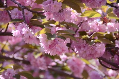Никитский сад бьёт рекорды по раннему цветению и посещаемости