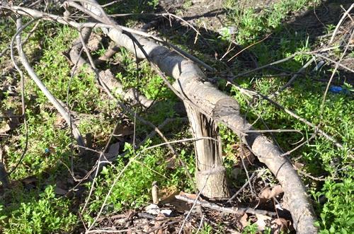 Застройка по-варварски: если деревья не сдаются, их уничтожают 0 (0)