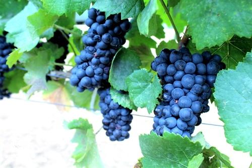 Термин «вино России» узаконят 0 (0)
