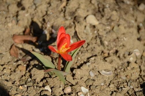 В Никитском ботаническом саду раскрылся первый тюльпан
