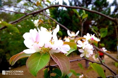 В осеннем Ботаническом саду КФУ зацвела яблоня 0 (0)