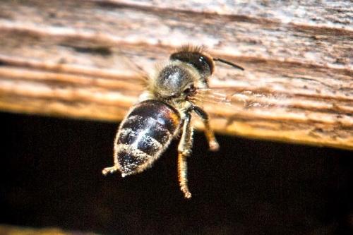 Крымским пчелам выдадут российские паспорта