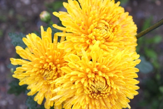 «И украсят непогоды эти жёлтые цветы…»