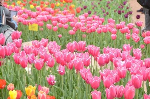О том, как луковицы тюльпанов спасали от смерти в годы войны