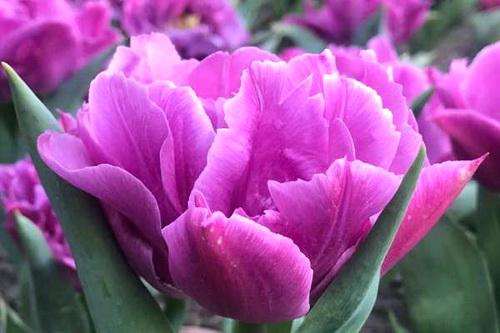 Парад тюльпанов в Никитском. Теперь виртуальный