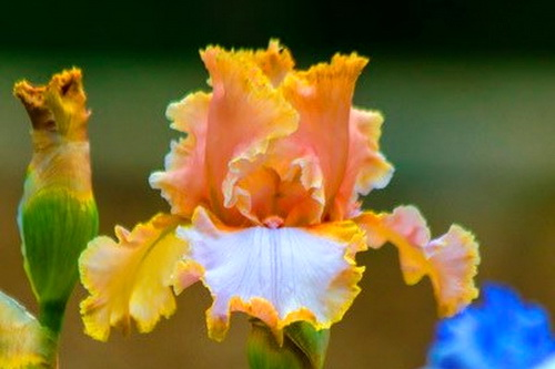 Цветок-небожитель