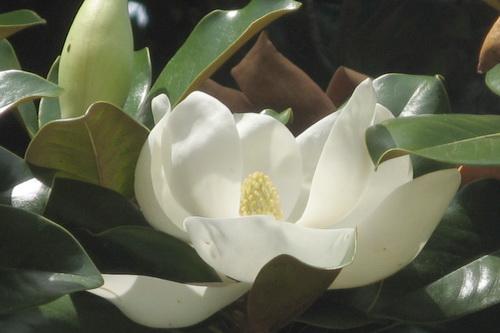 В Никитском саду – пик цветения магнолии 5 (2)