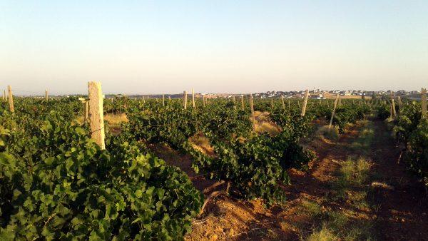 Виноградники в Песчаном