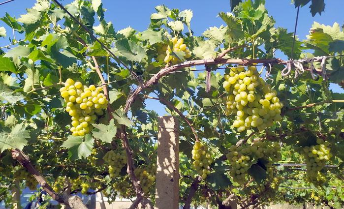 Осень. Винодельческие хозяйства начали сбор винограда