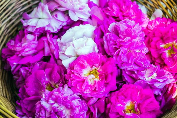 Роза эфиромасличная — ценнейший продукт для человека
