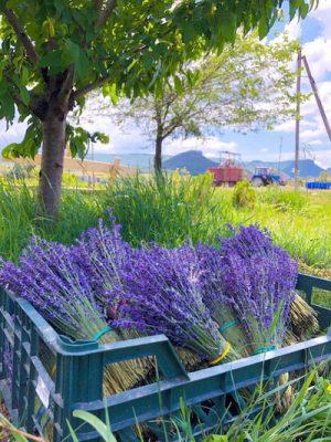 Крымский лавандовый пейзаж