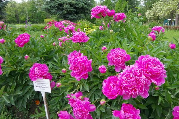 Цветут пионы… Фото Л.П.Юрчишко
