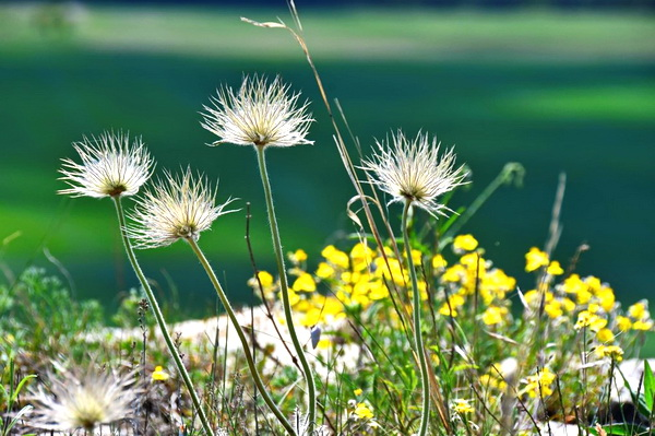 Сон-трава после цветения над обрывами Кучук-Сарык-Каи