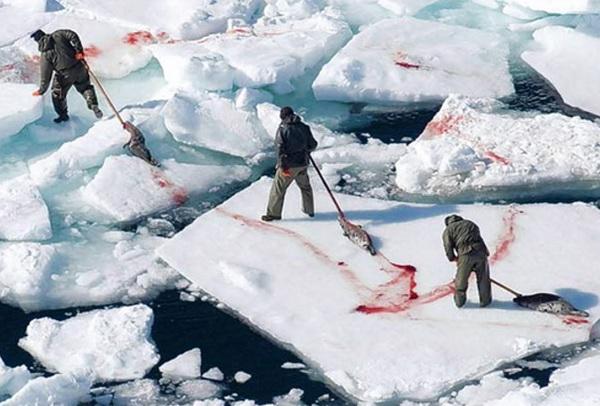 Фото современное, поскольку на сегодня только в Норвегии, Дании, Канаде и Намибии разрешена добыча тюленей, но не думаю, что в 20-30-е годы норвежцы были более гуманны