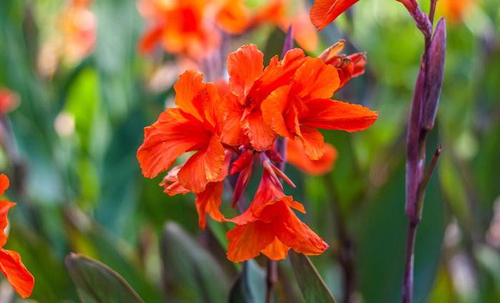 Никитский сад: диковинные канны на пике цветения