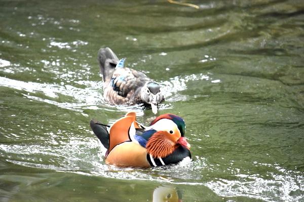Погоня за мандарином. Фото С.Т. Комарова