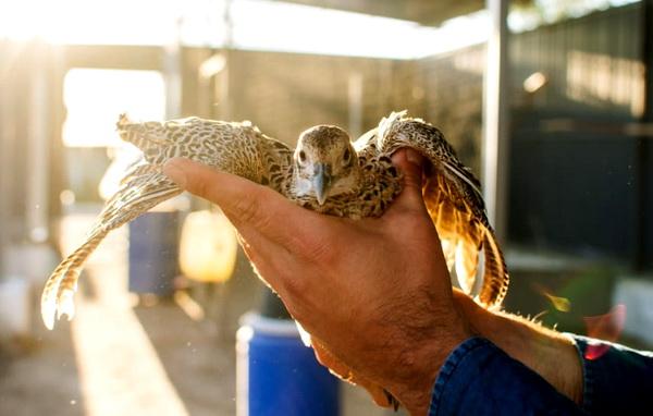Хоть фазан и родственник курицы, а летать-то умеет. Правда недалеко и невысоко