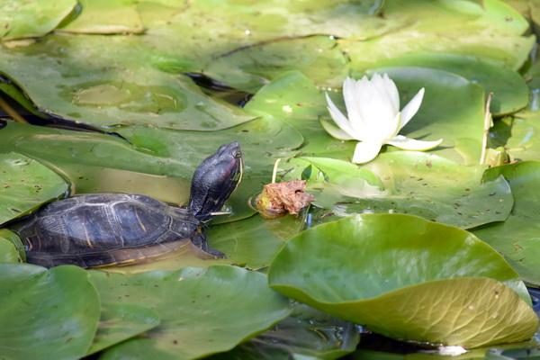 Черепаха-эстетка. Фото С.Т. Комарова