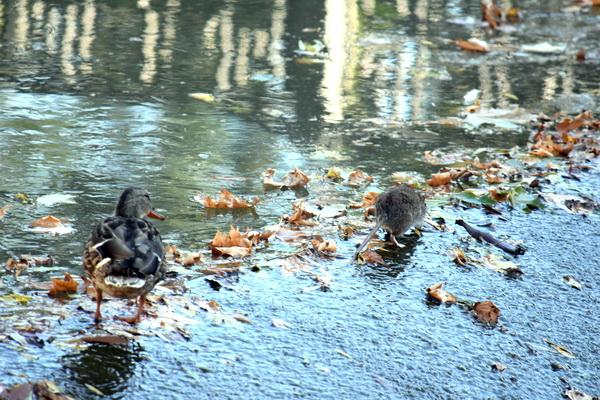 Пока крыса уткам не страшна. Фото С.Т. Комарова